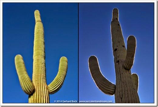 071218_saguaro_diptych