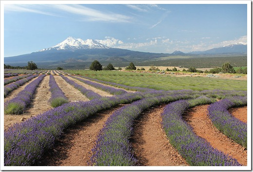 110710_Mt_Shasta_Lavender_Farm_27