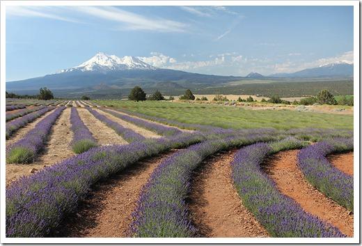 110710_Mt_Shasta_Lavender_Farm_27