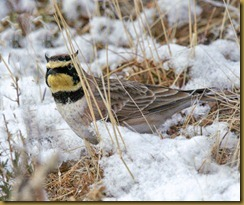 - Horned Lark_ROT8483 February 19, 2012 NIKON D3S