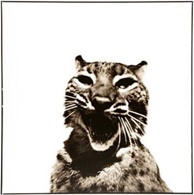 bobcat_D