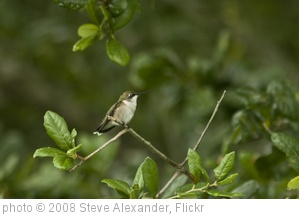 'Hummingbird' photo (c) 2008, Steve Alexander - license: http://creativecommons.org/licenses/by-nd/2.0/