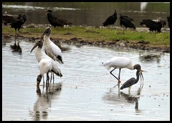 06c - Wood Storks at Deep Pond