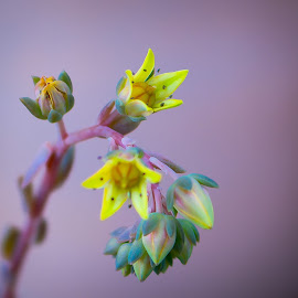 by Randall Langenhoven - Nature Up Close Other plants ( succulent, detail, macro, nature, flora, yellow, flower, close )
