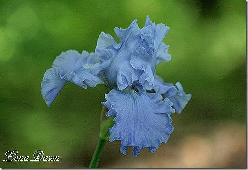 Iris_Monets_Blue2