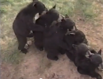 Cute Bear Cubs Create Conga Line