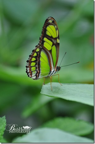 cr-grn-butterfly-wb1742-