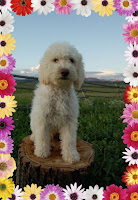 Sweetheart lovely is a mellow, smart and delightful Labradoodle,.