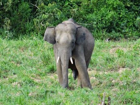 43. Elefant asiatic salbatic.JPG
