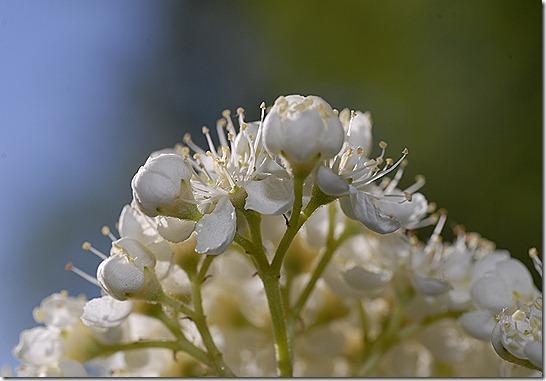 kukkia hyttynen mato 077