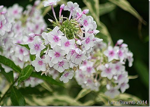 Phlox panticula Nora Leigh