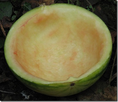 20130301 Metre Water melon bowl trap 2
