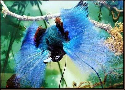 cenderawasih bird