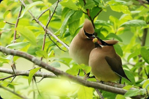 Amazing Beauty of Waxwing Birds6
