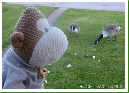 Hungry Ducks in Dawlish Warren