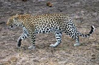 Amazing Pictures of Animals, Photo, Nature, Incredibel, Funny, Zoo, Leopard,Panthera pardus, Mammals, Carnivora, Alex (6)