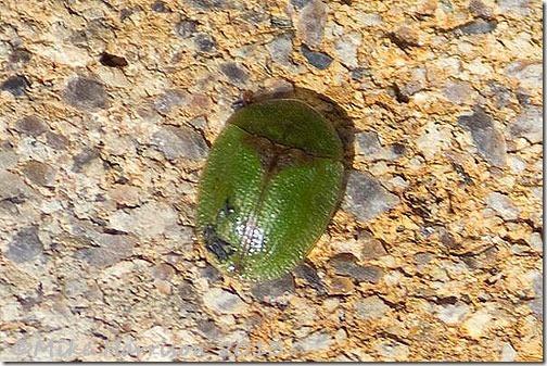 57-tortoise-beetle