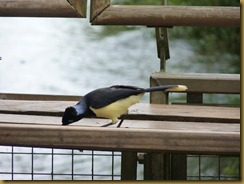 Black crested Jay