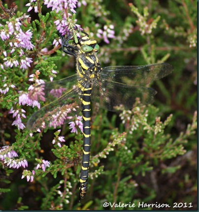 16 golden-ringed-dragonfly