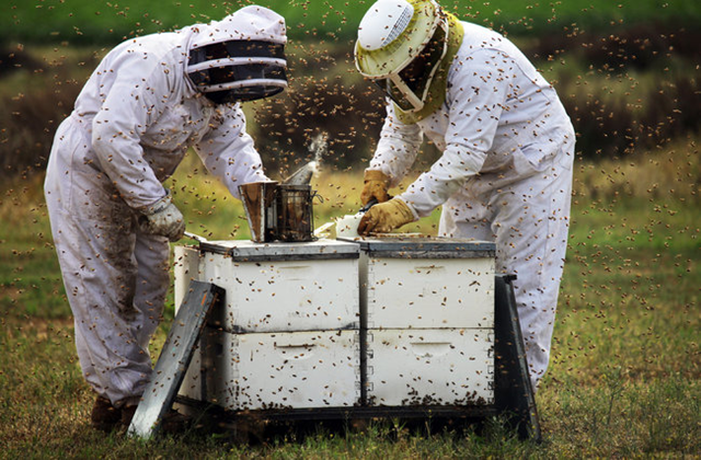 Beekeepers with Big Sky Honey worked with hives used to pollinate almond groves in Bakersfield, California. A mysterious malady that has been killing honeybees en masse for several years appears to have expanded drastically in 2012, commercial beekeepers say, wiping out 40 percent or even 50 percent of the hives needed to pollinate many of the nation's fruits and vegetables.  Photo: Jim Wilson / The New York Times