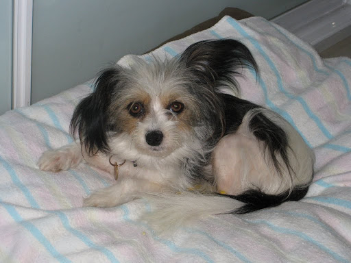 Papillon Rescue Dogs For Adoption