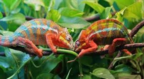 Amazing Pictures of Animals, photo, Nature, Exotic, Funny, Incredibel, Zoo, Panther chameleon, Furcifer pardalis, Reptilia, Alex (7)