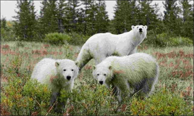 Polar bears near Churchill, Manitoba. As global warming deprives bears of sea ice, starving bears look for food on land, increasingly entering communities and attacking humans. Photo: Reuters