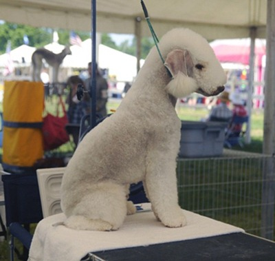 Bedlington-Terrier-01