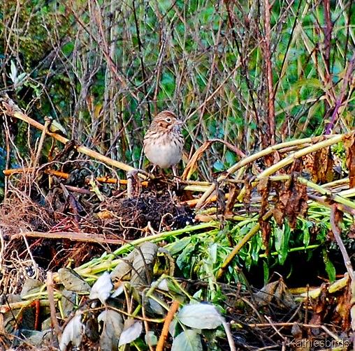 7. Vesper sparrow-kab