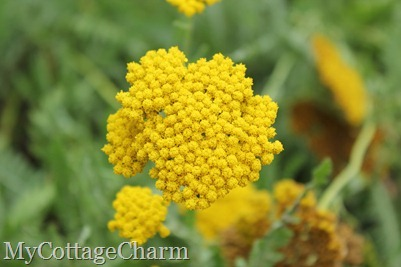 yarrow beauty