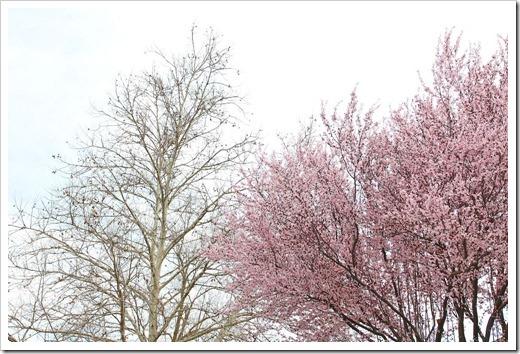130303_Prunus-cerasifera-Krauter-Vesuvius_11