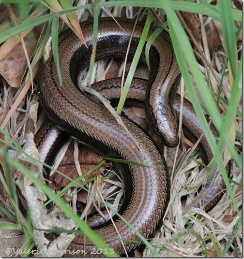 11-slow-worm