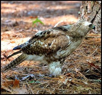 13b - Hawk