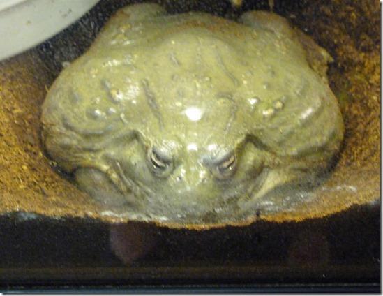 Reptile Zoo - African Bullfrog
