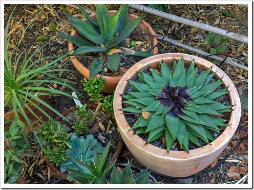 121020_Aloe-polyphylla_02