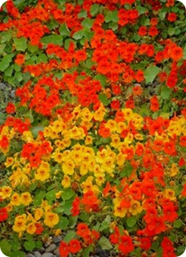 orange_and_red_nasturtium_flowers_0001-0507-1916-5513_SMU