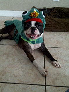 Rocco dressed as a frog and waiting for a kiss- Weston, FL