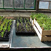 Trays of seedlings in the greenhouse