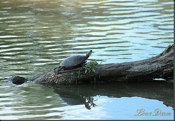 LL_Turtle2