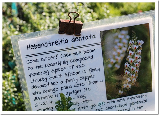 110211_AnniesAnnuals_Hebenstreitia-dentata_02