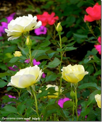 flores-facebook-tumblr-rosas-las flores-fotos de flores-713