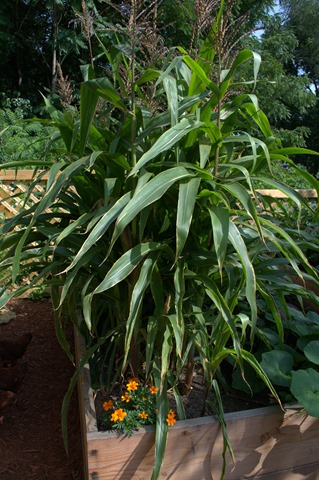 Corn Aug 8