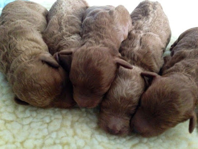 caramel and red labradoodle puppies