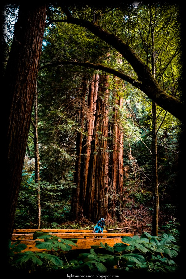 Light Impressions-Giants-Muir Woods
