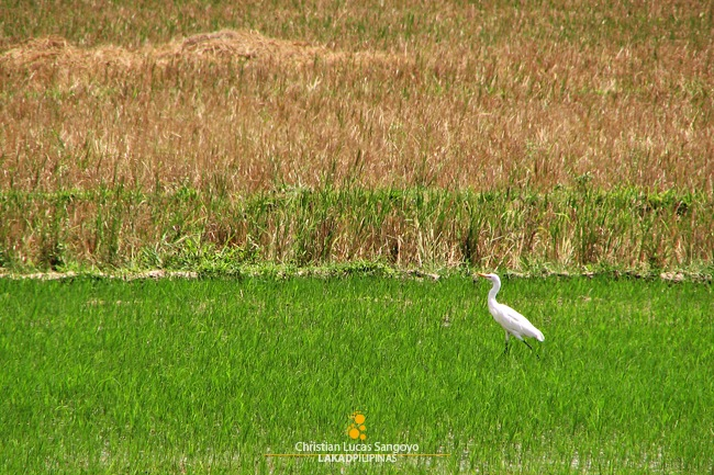 An Egret Striding Along the Fields