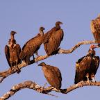 Verschiedene Geierarten, unter anderem ein Ohrengeier (unten rechts) am Chobe, Botswana © Foto: Doreen Schütze | Outback Africa Erlebnisreisen