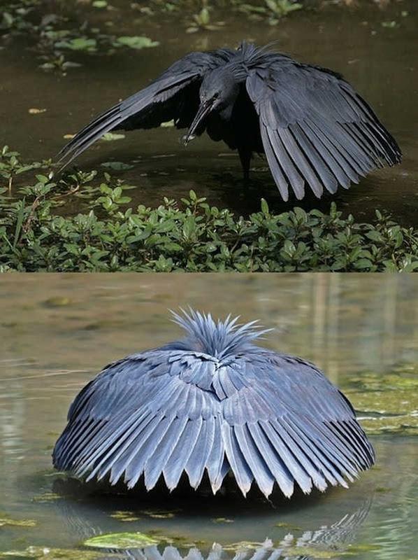 6- Black Heron