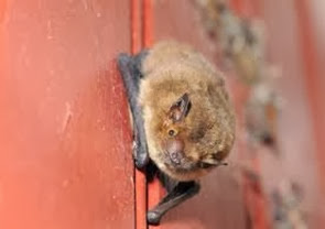 Amazing Pictures of Animals, Photo, Nature, Incredibel, Funny, Zoo, Common pipistrelle, Mammals, Alex (1)