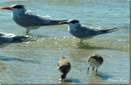 Sanibel Shell and birds_157