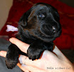 C vrh Bella's Liberi - Cpuppies_16day
